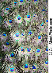 Green Peafowl feather background