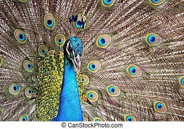Green Peafowl - Beautiful male Green Peafowl (Pavo muticus),...