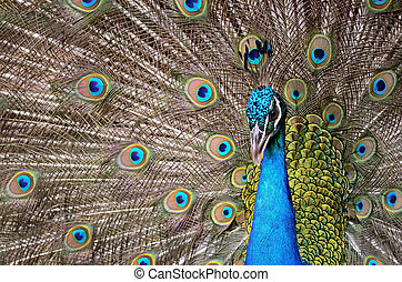 Green Peafowl - Beautiful male Green Peafowl (Pavo muticus),...