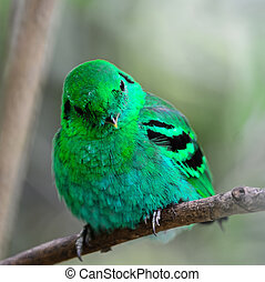 male Green Broadbill - Colorful green bird, a male Green...