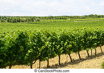 Vineyards in Languedoc-Roussillon - Vineyards near...