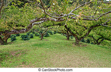 peach trees - peach trees in a orchard