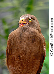 Rufous-winged Buzzard (Butastur liventer), breast profile