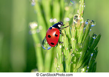ladybug on a green grass with dew drops