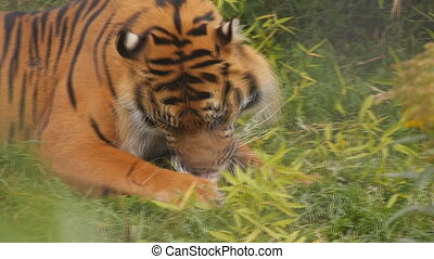 sumatran tiger - close-up of a sumatran tiger eating his...