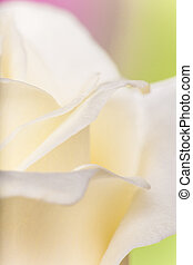 Natural tint yellow roses background, close-up.