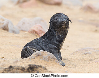 Cape fur seal (Arctocephalus pusillus), Cape Cross. Namibia