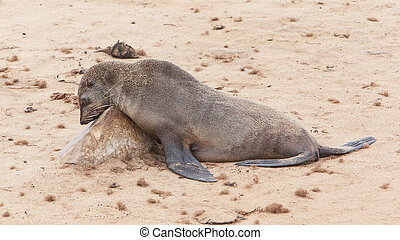 Cape fur seal Arctocephalus pusillus, Cape Cross Namibia