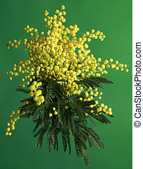 Mimosa Acacia Dealbata - Bouquet of Silver Wattle Isolated...
