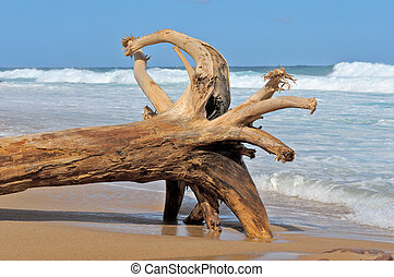 Driftwood 1 - Huge tree stump with roots on the beach