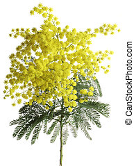 Mimosa Acacia Dealbata Cutout - Branch of Silver Wattle...
