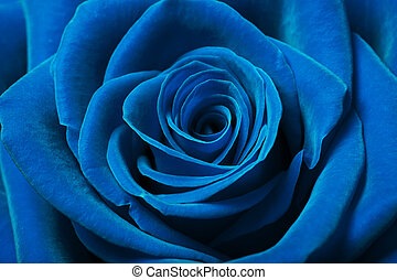 Beautiful blue rose - Close up image of beautiful blue rose