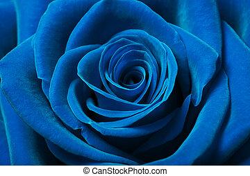 gyönyörű, kék, rózsa