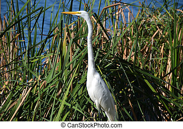 White Crane in Orlando Florida - White Crane in the tall...