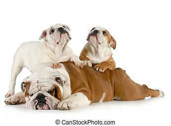 Inglés, Bulldog, familia