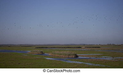 flock of barnacle geese - migratory flock of barnacle geese...