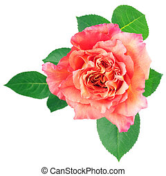 Rose on white - Peach rose isolated on white background.
