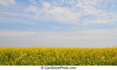 Rapeseed flowers on the blue sky