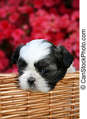 Cute Puppy - A cute Shih Tzu puppy in a basket outside on a...