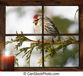 Christmas visit - Female common redpoll perched outside in...
