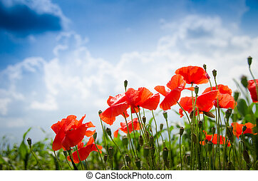 Poppies on a blue sky - Red poppy flowers on a land with a...