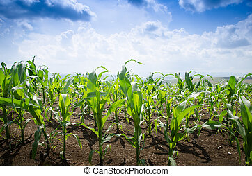 Corn field during summer - Corn field on a summer day with...