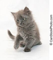 Gray fluffy kitten sits with his front paw on white...