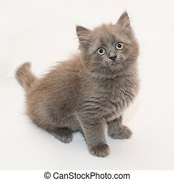 Gray fluffy kitten sitting looking up on white background