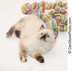 Fluffy kitten seal point lies coiled serpentine on white...