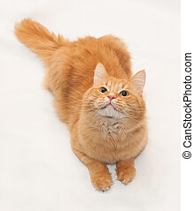 Red fluffy cat looking up on white background - Red fluffy...