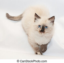 Seal point kitten with blue eyes folded front paws on white...