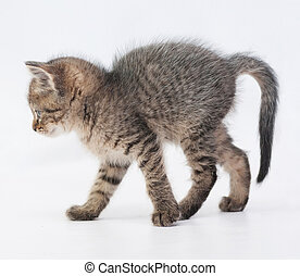 Striped fluffy kitten goes arching tail, on white background