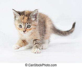 Tricolor kitten carefully sneaks lifted front paw on white...