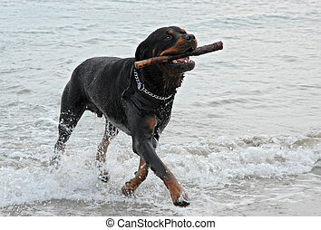 Rottweiler, gioco, mare
