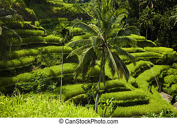 Green rice fields on Bali island