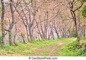 wild himalayan cherry flower - beautiful wild himalayan...