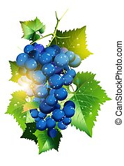Sunny Vineyard Grapes Illustration Isolated in White...