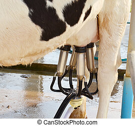 Vertical view on machine milking of a cow