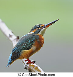Common Kingfisher - A beautiful Kingfisher bird, female...