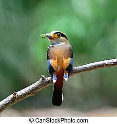 female Silver-breasted Broadbill - Colorful Broadbill bird,...
