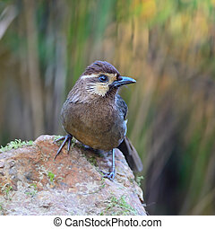 White-browed Laughingthrush (Pterorhinus sannio), uncommon...