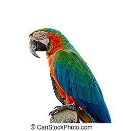 Harlequin Macaw - Colorful Harlequin Macaw aviary, side...