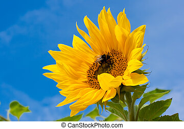 Sunflower - Beautiful close-up photo of big yellow sunflower