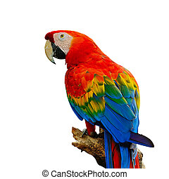 Scarlet Macaw - Colorful Scarlet Macaw aviary, sitting on...