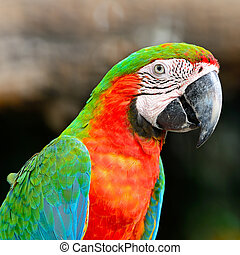 Harlequin Macaw - Colorful Harlequin Macaw aviary, face and...