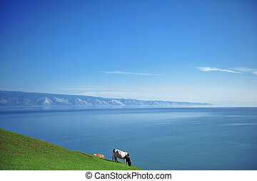 Olkhon island, Russia - View of a cow near the Baikal Lake...