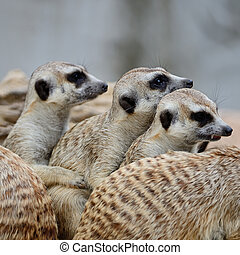 Meerkat - Family of Suricates or Meerkats (Suricata...