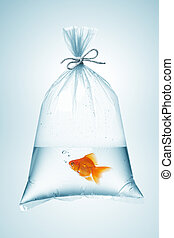 goldfish in bag - goldfish in plastic bag, tied with rope