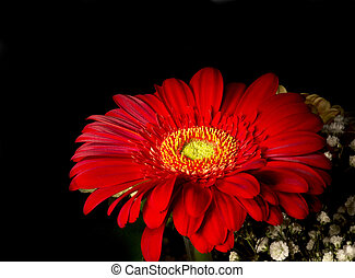 Gerbera flower - red ornamental plant from sunflower family