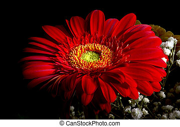 Gerber flower - red ornamental plant from sunflower family